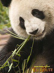 China's National Treasure, the Cute Giant Pandas