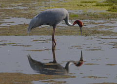 Sarus Crane In Mirror (aeschylus18917) Tags: india bird nature birds animal nikon crane wildlife feathers waterbird d200 rajasthan grus bharatpur  antigone 80400mm