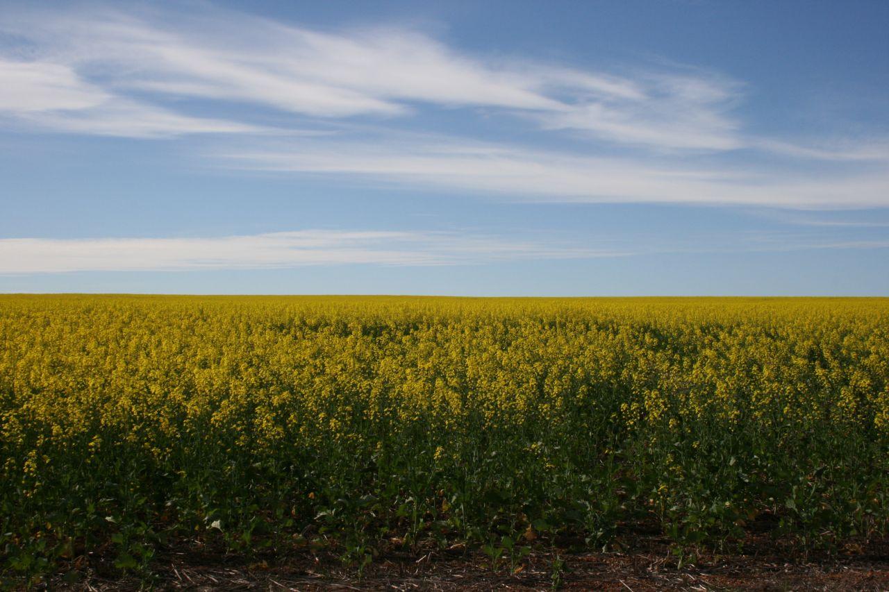 yellow fields1