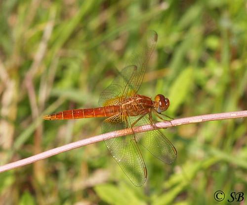 Insecta: Odonata, Anisoptera, Libellulidae