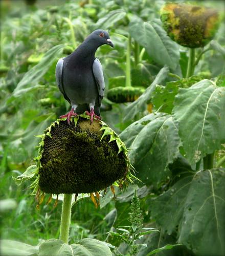 pigeons' paradise ...