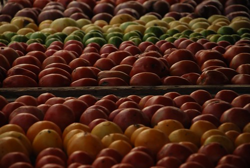 row after row of beautiful tomatoes