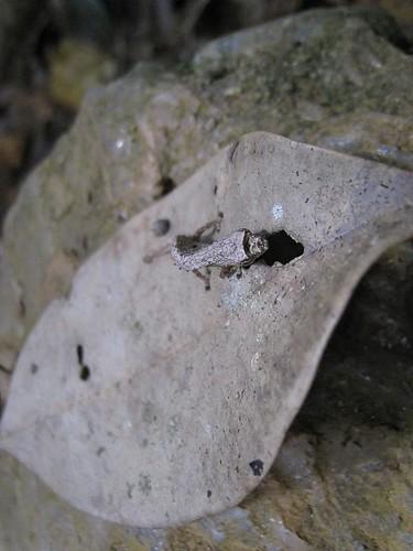 Brookesia minima chameleon by muzzanese