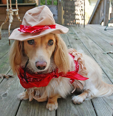 Honey, CowGirl (Doxieone) Tags: dog cute english fall halloween long mosaic cream dachshund honey blonde 2008 haired 31 coll longhaired honeydog englishcream halloweenfall2008set