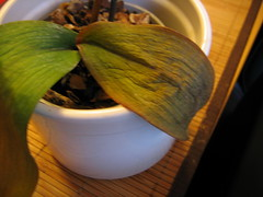 Mutterpflanze Bekommt Gelbe Blätter Orchideenforum