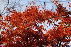 """紅葉 @ 東福寺 (ddsnet) Tags: sony α 900 α900 紅葉 autumnal 京都 kyoto きょうと 日本 日本国 にほんこく japan nippon nihon 東福寺 植物 plant autumnleaves """"autumn leaves"""" 秋葉 """"autumn leaves"""" 自助旅行 backpackers 京都府 きょうとふ kyotofu 京都市 きょうとし kyōtoshi autumn leaves こうよう もみじ"""