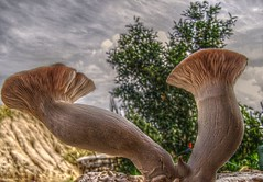 Mushrooms cardoncello -Pleurotus eryngii - (by gvdep63)