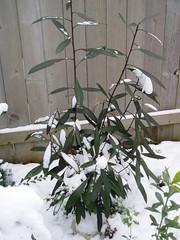 Pseudopanax Sabre snow