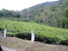 DSCF0288 (rbellare) Tags: india kerala teaplantation munnar