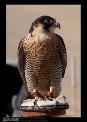 .. ..     (uis) Tags: canon falcon 70200mm 50d   alkubaisi