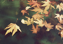 (~Zohreh~) Tags: autumn fall leaves leaf iran freeze tehran saadabad barg zohreh   paiiz  yakhzadegi