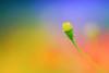 Love Sublime (kktp_) Tags: flower macro nature thailand nikon dof bokeh bangkok bud d80 105mmf28gvrmicro