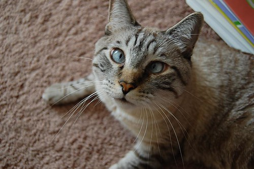 cute cross eyed tabby cat pic