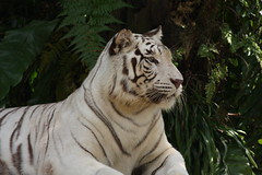 White Tiger (Fanziq) Tags: tiger whitetiger singaporezoo canonef35350mmf3556lusm