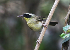 Yellow-throated Scrubwren (Greg Miles) Tags: australia nsw newsouthwales bodalla sericorniscitreogularis yellowthroatedscrubwren bodallastateforest