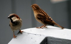 Field Sparrows (male and female) (mightyquinninwky) Tags: friends bird birds rural geotagged countryside backyard dof bokeh kentucky aves farmland depthoffield deck sparrow ave greatshot sparrows picnik smalltown naturesbest westernkentucky animalphotography wonderfulnature fieldsparrow naturesart unioncountykentucky nativebirds nativefauna 1on1nature avianphotography ruralkentucky morganfieldkentucky fieldsparrows freenature worldofanimals geo:lat=37693117 thebluegrassstate geo:lon=87905533 birdsinsideandoutside agriculturalarea 1on1avian worldnaturewildlifecloseup ilovebirdspool thecommonwealthofkentucky 1worldofinspirationhappiness smalltownkentucky nativekentuckyfauna nativekentuckybirds