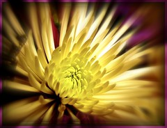 Starburst bokeh (Brenda Boisvert) Tags: chrysanthemum picnik masterphotos mywinners bouquetflower anawesomeshot citrit goldsealofquality theperfectphotographer goldstaraward wonderfulworldofflowers damniwishidtakenthat exploreflowers awesomeblossoms kunstplatzlinternational flickrsmasterpieces planetearthflowers starburstbokeh whitteflower