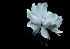 ...........whiter shade of pale (unintelligiBill) Tags: canon annielennox onblack iloveit naturesfinest whitershadeofpale topshots canonef100mmf28macrousm mywinners canoneosrebelxti diamondclassphotographer flickrdiamond unintelligibill