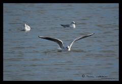 Black Headed Gull (tomstory) Tags: black gull headed ukbirds