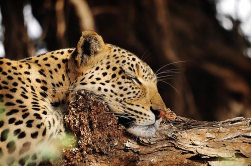 Your Favorite Leopard Portrait | Flickr Big Cats | Flickr