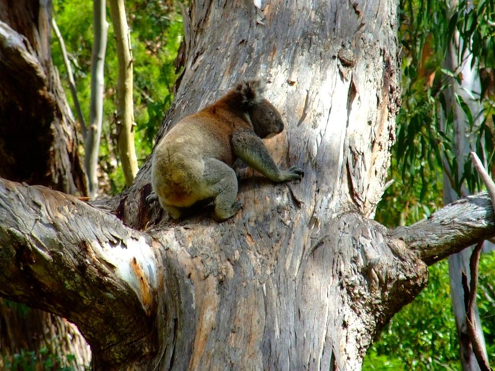 koala-climbing