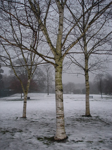 silver birches, mist and thaw