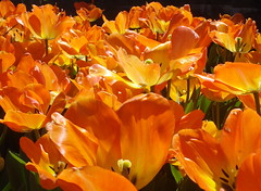 Sunbeams of Love!!!!! (Clara Hinton) Tags: orange macro love nature tulips sunbeams otw myrtlebeachsc flowerotica fantasticflower clarahinton sunbeamsoflove