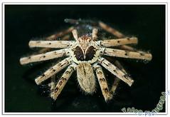 the dry spider (Yato) Tags: macro nature spider araa f56 labalaba lens500mmf18 yato byyato~allrightsreserved ringflashmountedonsb600