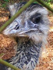 0910100065 (Lourdes Cristina) Tags: bird eye zoo ostrich socarlos avestruz ema centroecolgico