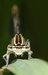 Platycnemis pennipes - White-legged Damselfly (Yagosan) Tags: macro nature closeup insect nikon damselfly odonata d300 kenko whiteleggeddamselfly  platycnemispennipes nikkor105mmmacro nikonsb900speedlight nikonr1closeupspeedlight