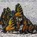 Butterflies landing near Cedar River. Photo: Ruth Nebbia, Blue Mountain Lake NY.
