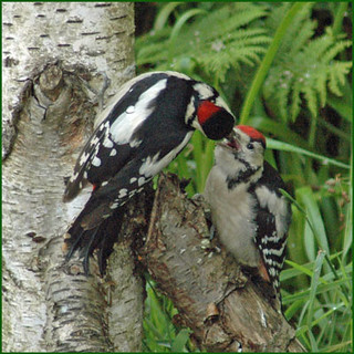 Father woodpecker feeding youngster