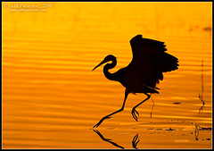 Tricolored Dawn (Judd Patterson) Tags: bird birds sunrise dawn florida avian tricoloredheron stockphotography vierawetlands juddpatterson alemdagqualityonlyclub alemdaggoldenaward
