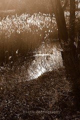 midsummer night's dream (Monty-e*) Tags: light tree sepia lago stream awesome shakespeare piemonte sensational rushes midsummernightsdream abigfave