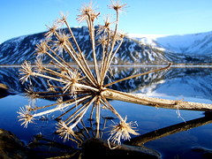 Hvnn (jla ) Tags: mountain flower macro reflection angelica hvnn mealfellsvatn