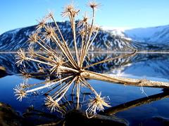Hvönn (júlía ∆) Tags: mountain flower macro reflection angelica hvönn meðalfellsvatn