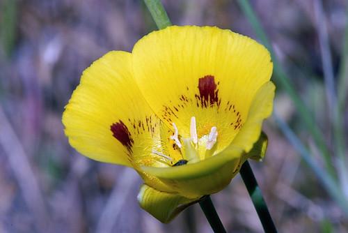 Calochortus luteus (Gold Nuggets)