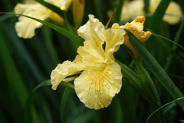 irises, o'bryant square