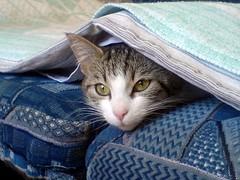 (ryujo.) Tags: cat bed kitten blanket kissablekat catmoments