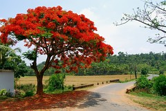 Delonix Regia, Gulmohar Tree, Coorg, South India (dan clinch) Tags: trees india landscapes flora delonixregia fabaceae flamboyant regia gulmohar delonix