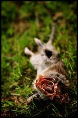 Dead Rat eaten by a Raven (Mayastar) Tags: mayastar