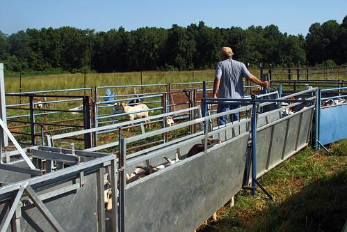 Jeff Semler working the goats