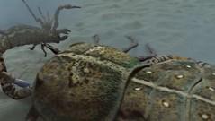 giant sea scorpion hunts