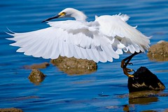 Delicate Dance (Egretta Thula), Snowy Egret (Nick Chill Photography) Tags: california white slr birds fauna photography wings nikon image sandiego wildlife stock flight dslr egret birdwatching wading snowyegret missiontrails singlelensreflex bif dx birdwatcher naturephotography shorebirds d60 egrettathula regionalpark naturesfinest lakemurray birdphotography wildlifenorthamerica wildlifephotography inspiredbylove wildlifephotos natureimages specanimal avianexcellence windsandandwater brillianteyejewel thewonderfulworldofbirds nickchill neighborhoodnw09