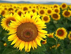 Sunflower (Asim237) Tags: sunflowers sunflower farms bulgaira perfectangle aplusphoto excellentsflowers natureselegantshots