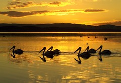 Six Pack (pominoz) Tags: sunset lake reflection bird silhouette newcastle pelican nsw thumbsup six reflexions lakemacquarie bigmomma blueribbonwinner belmontsouth thechallengefactory