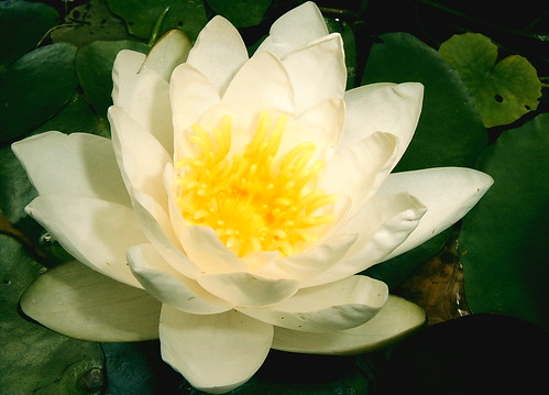 White Cream Water Lily by Marie Anakee Miczak copyright, all rights reserved by GaveThat.com