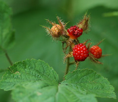 wineberry fruit