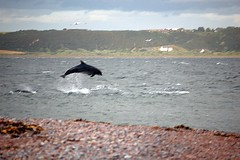 MORAY FIRTH DOLPHIN (CAZ MO) Tags: sea wild beach scotland highlands dolphins inverness rosemarkie blackisle morayfirth fortrose bottlenosedolphins morayfirthdolphins channorypoint