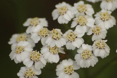 Achillea millefolium - Duizendblad